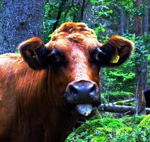 Vanlig ko