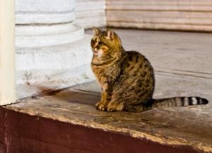 Katt. I Hagia Sofia.
